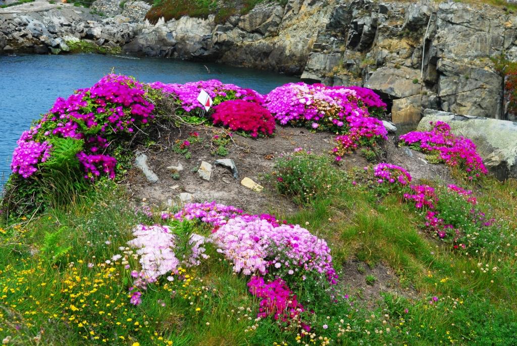 Mittagsblumen auf Guernsey