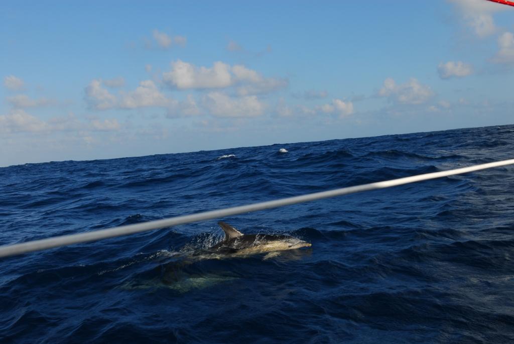 Delphin in der Biskaya
