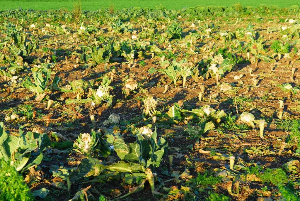 Blumenkohl Karfiol