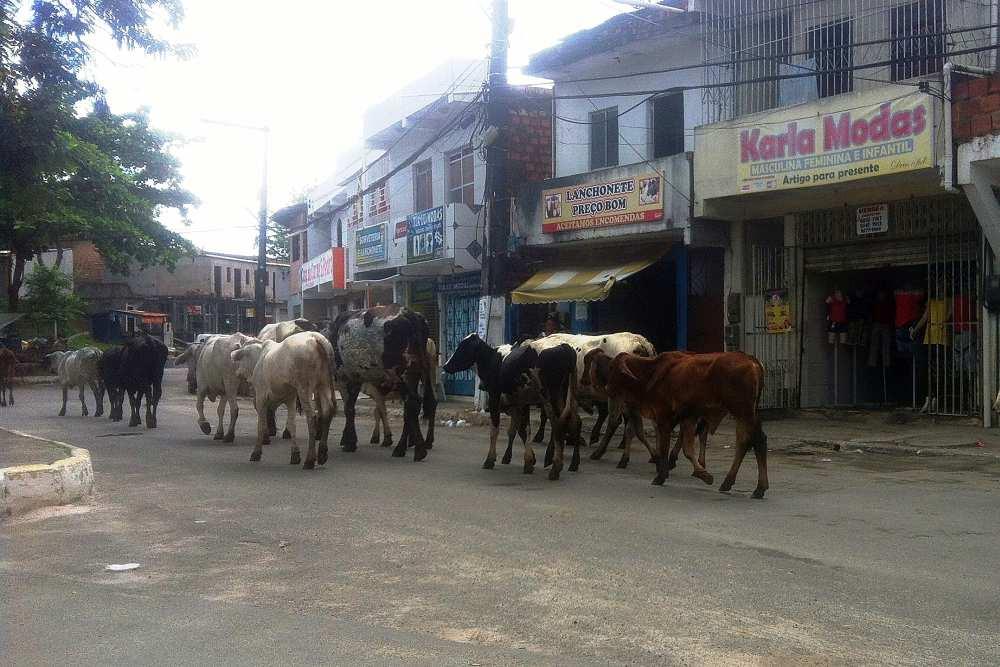 Rinderherde in Aratu