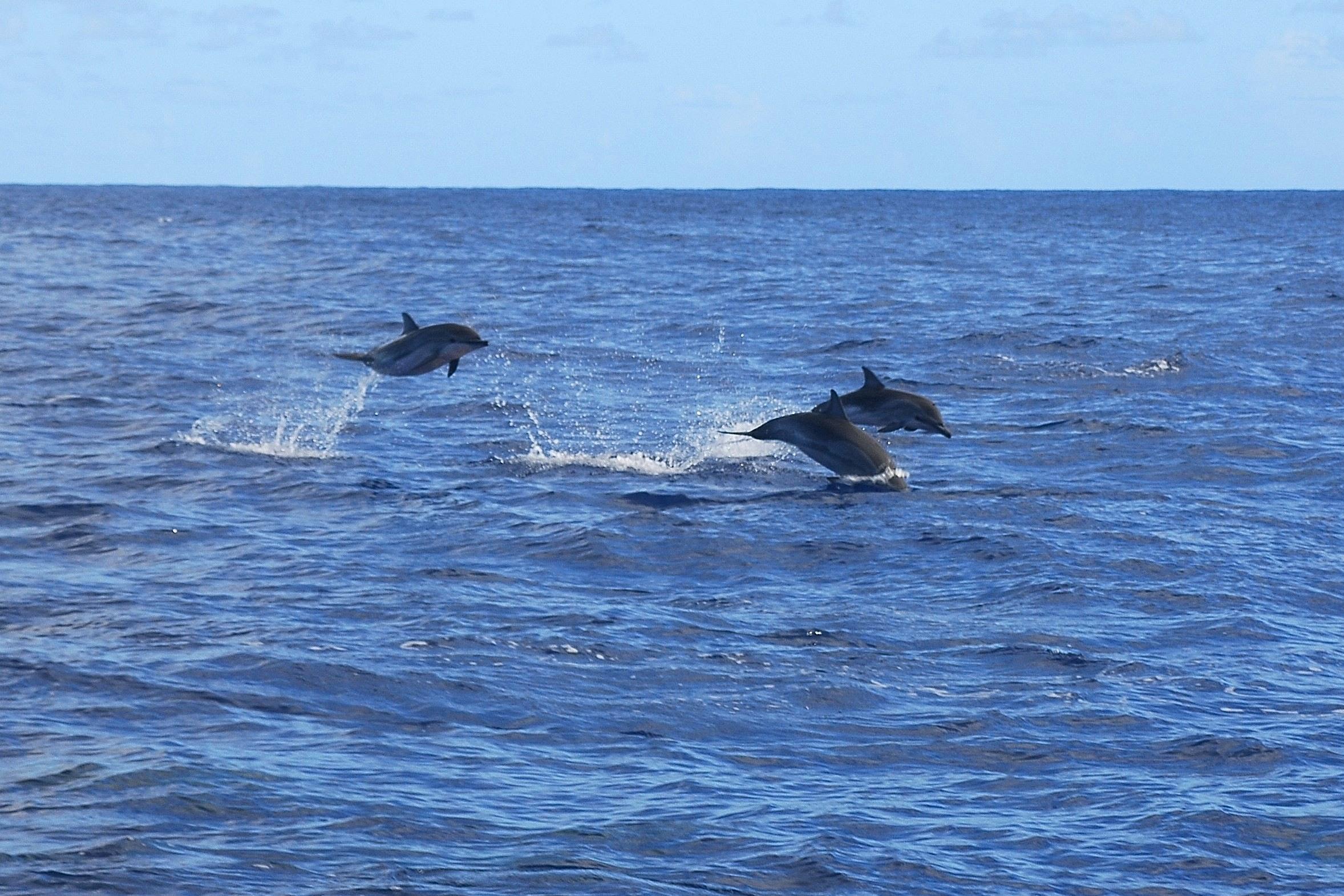 Delfine vor Maceio