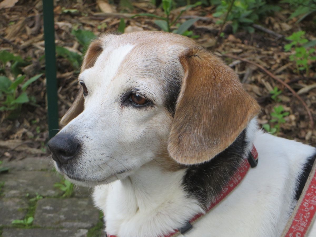 Tessa, unser waschechter brasilianischer Terrier