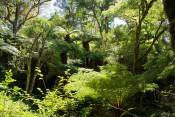 Baumfarne im Nationalpark Amboro
