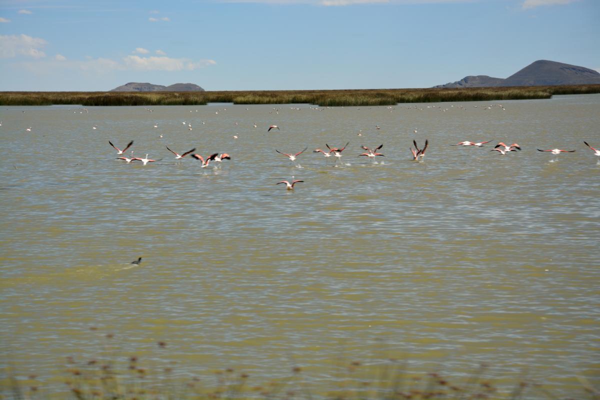 Flamingos, Popoo See