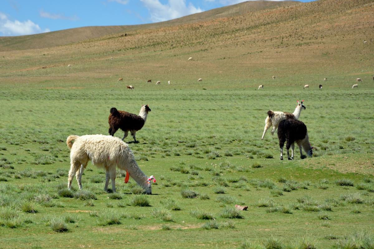 Lama, Uyuni Tour, Tupiza bis Quetana