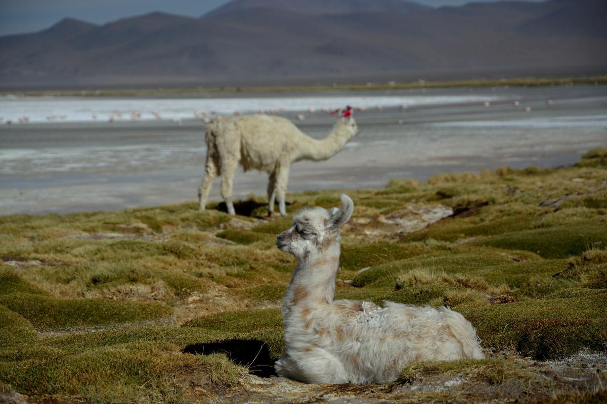 Lamas an der Laguna Colorada