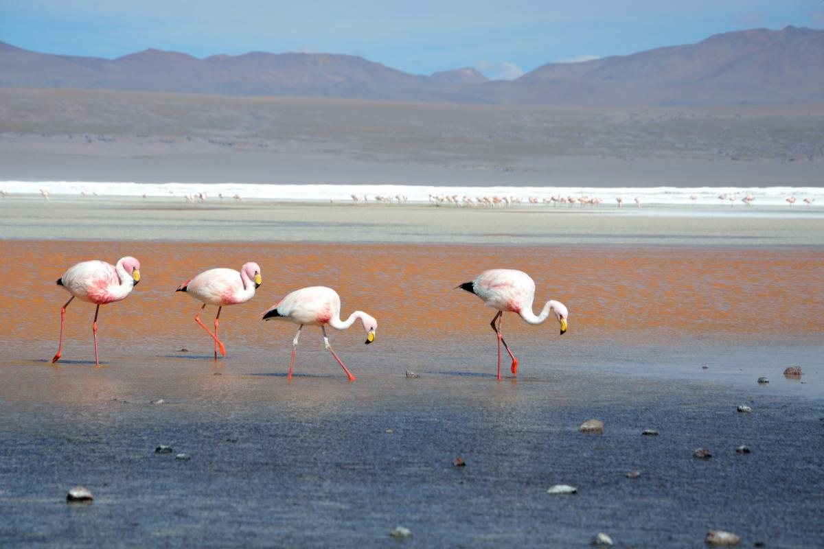 Flamingos in der Laguna Colorada, Uyuni Tour von Tupiza aus