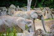 Der Elefant geht im Kreis