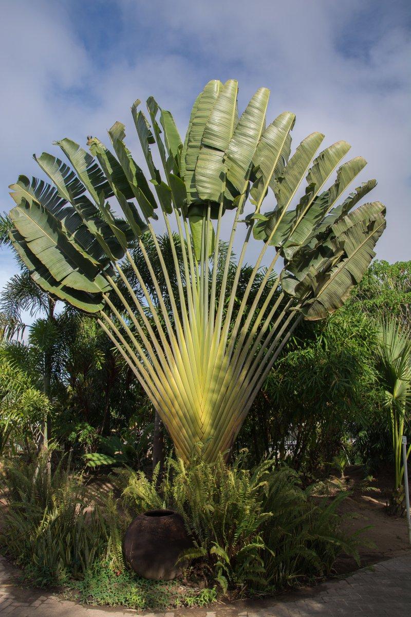 Ravenala - Blumen, Blüten und Pfanzen in Surinam