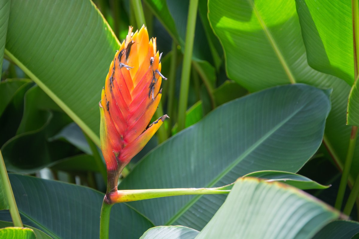 pflanzen-suriname-1378