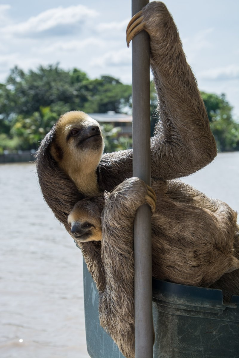 Sloth Rescue - Faultier Auswilderung in Surinam