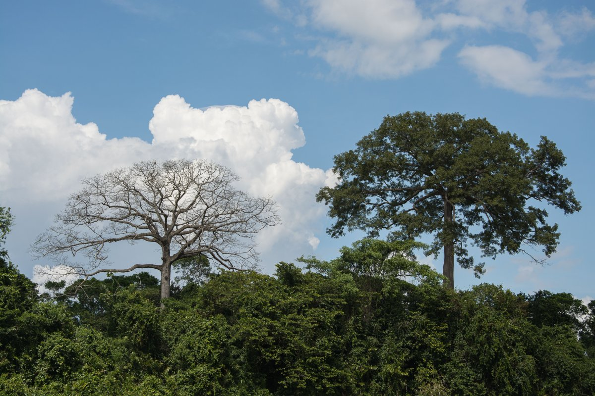 Kankantri oder Kakop Baum