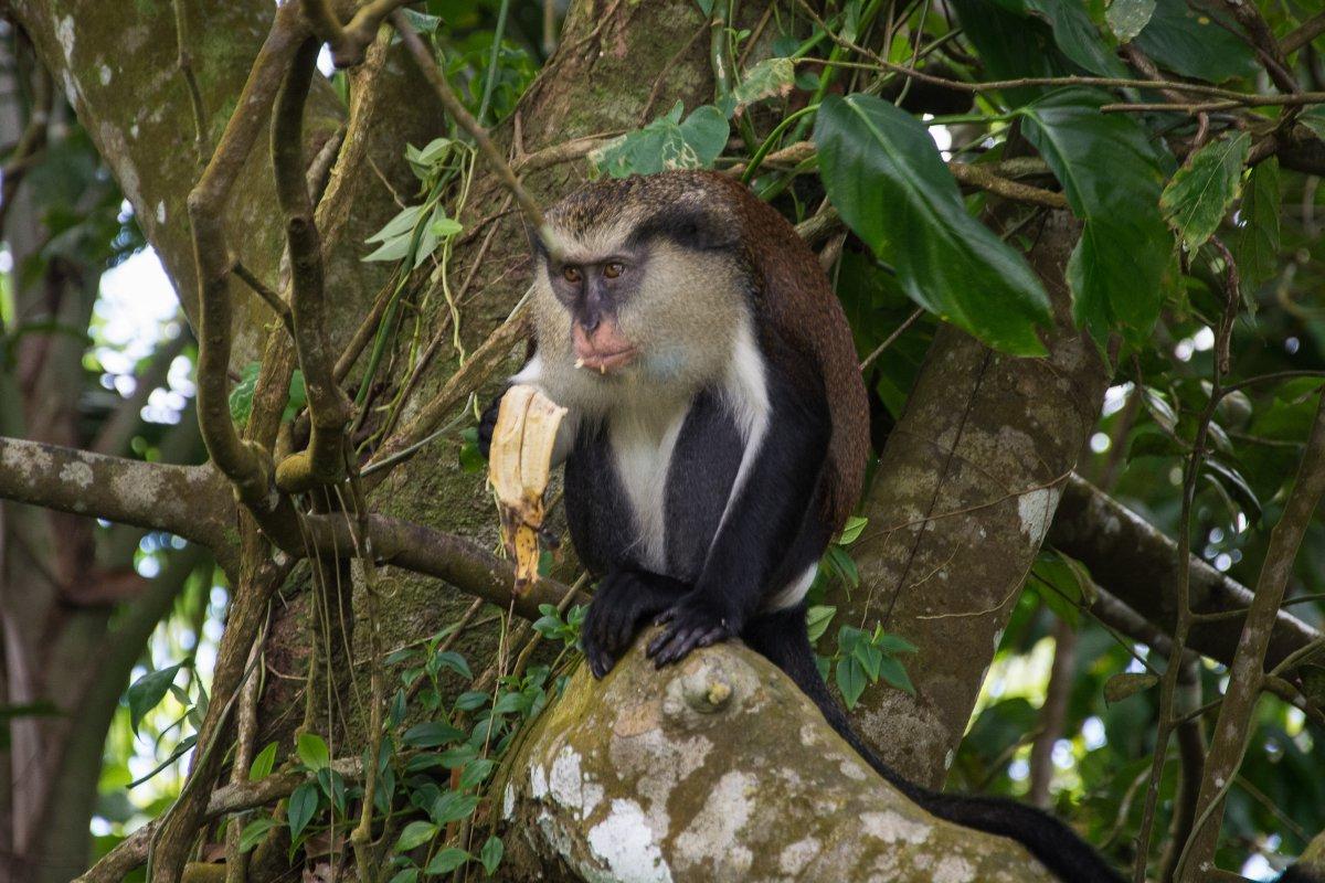 Mona Monkey auf Grenada