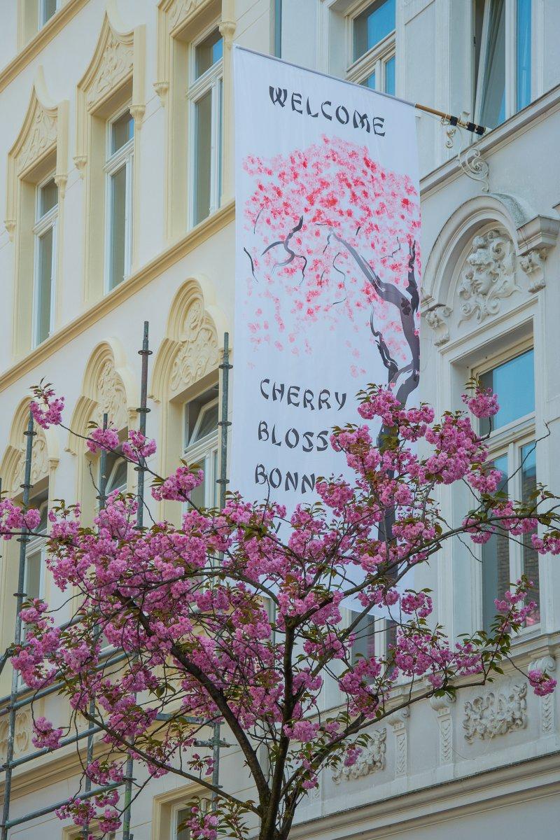 3x Frühling vor der Haustür - Kirschblüte in Bonn(Köln) - Kirschblüte in Bonn