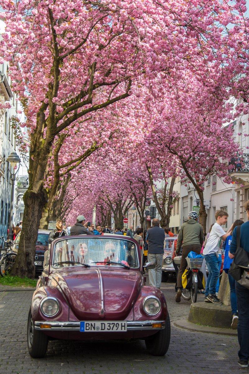 3x Frühling vor der Haustür (Köln) - Kirschblüte in Bonn