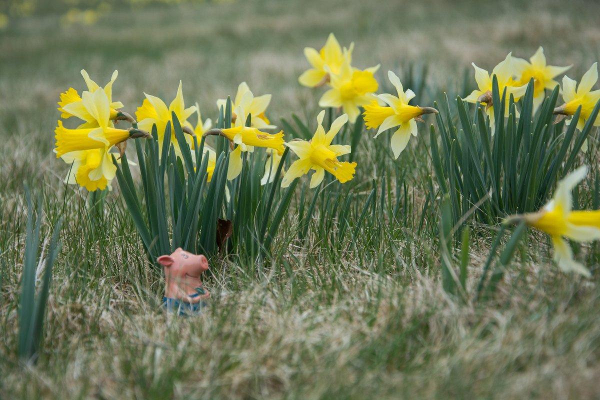 3x Frühling vor der Haustüre (Köln) - Narzissenfelder in der Eifel