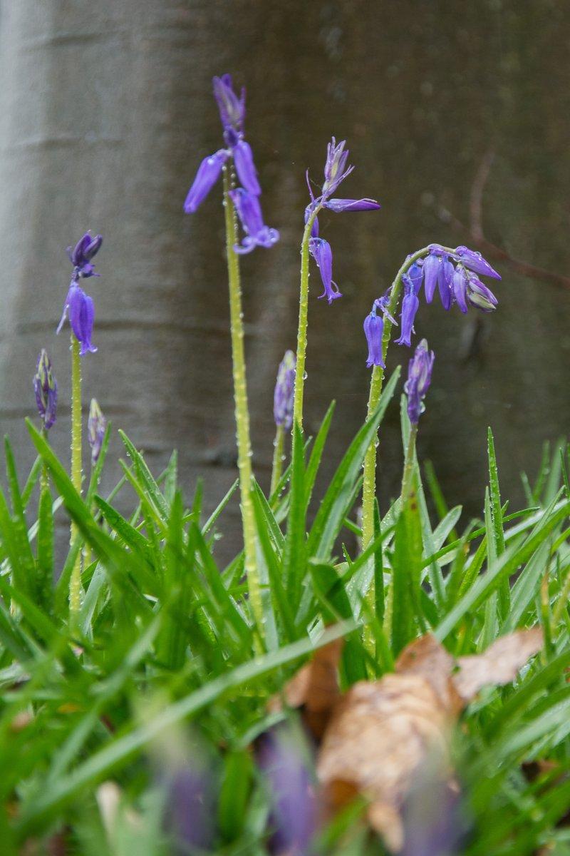3x Frühling vor der Haustüre (Köln) - Hasenglöckchen in Doveren