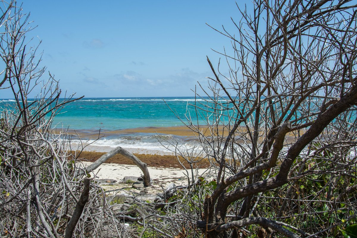 Strand von Macabou, Martinique mir Sargassum