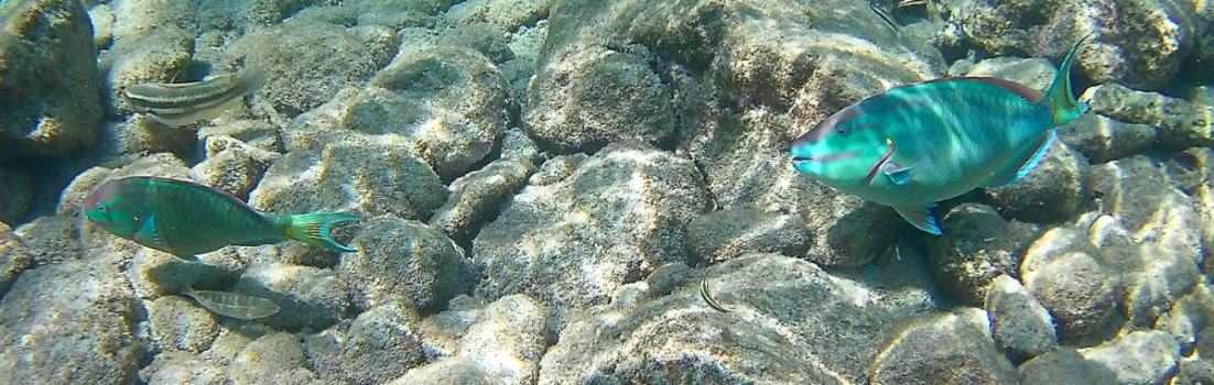 Papageienfische im Reserve Jaques Cousteau, Guadeloupe