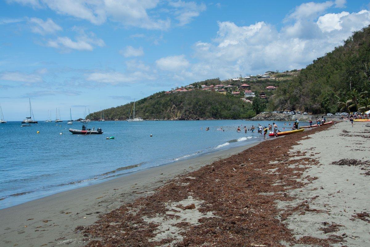 Sargassum bei Pigeon Island, Guadeloupe
