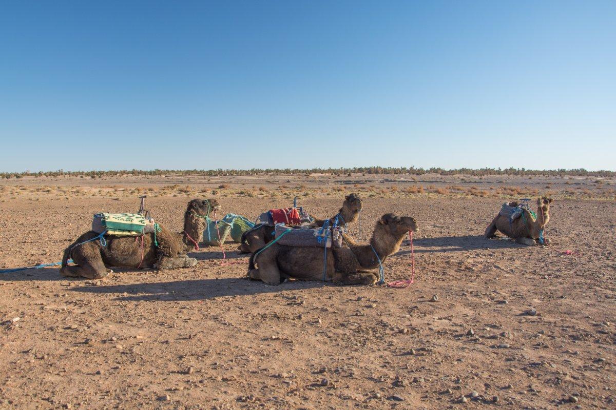 Hinter Ouarzazate warten die Kamele